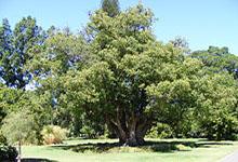 ravintsara (ho leaf)