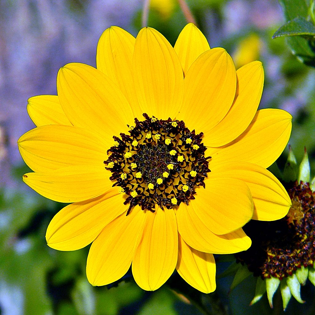 beach sunflower large